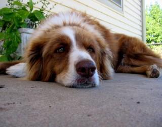 lazy-dog-lg